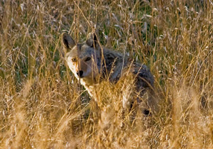 Coyote in the brush - Southern Hog Control