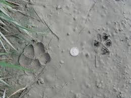 dog and coyote tracks - Southern Hog Control